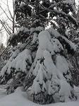 雪をかぶったトド2