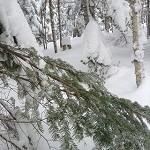 雪よけした後の枝