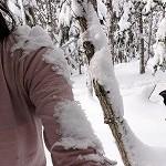 幹ゆさぶり雪かぶり1